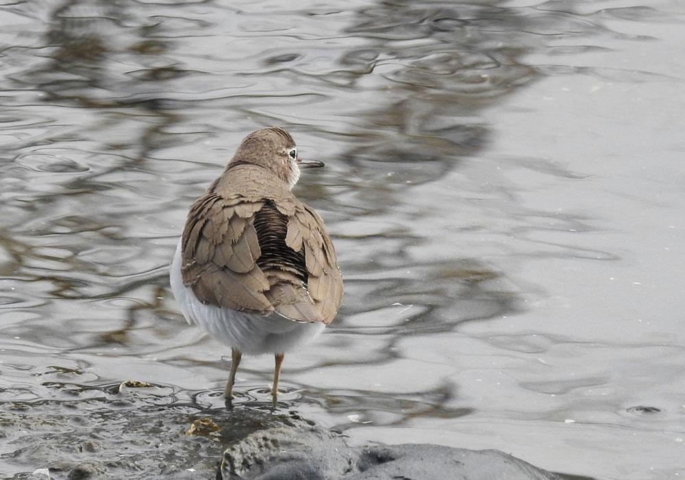干潟に佇むイソシギ