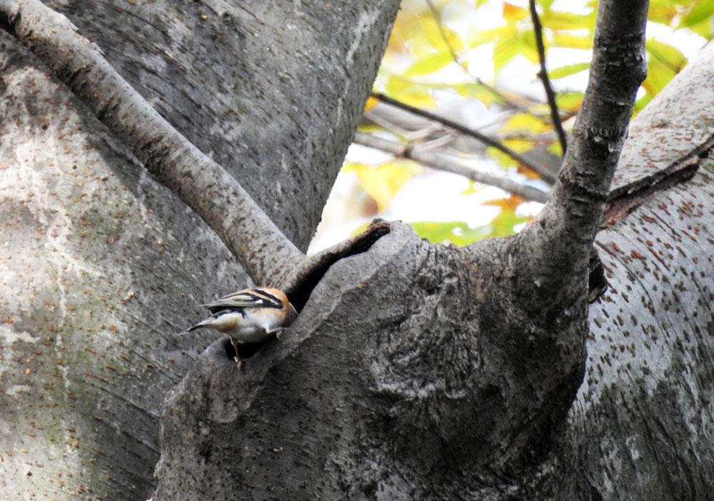 木の洞に頭を突っ込むアトリ