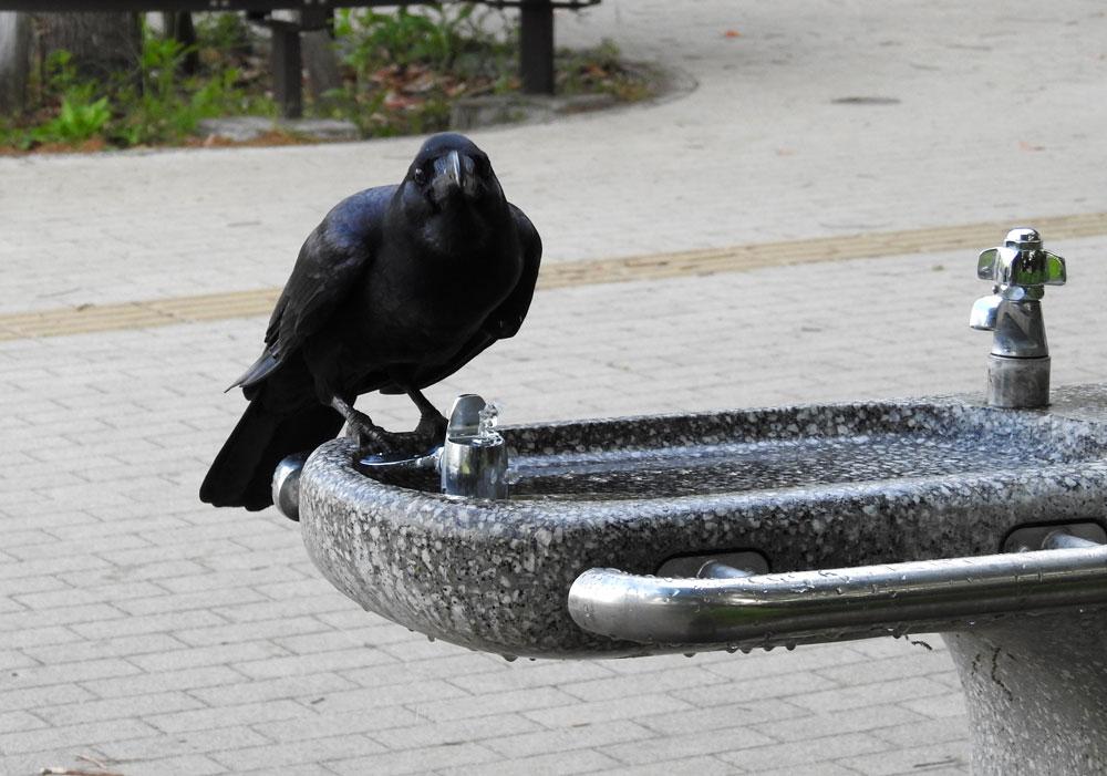 公園で水を飲むカラス