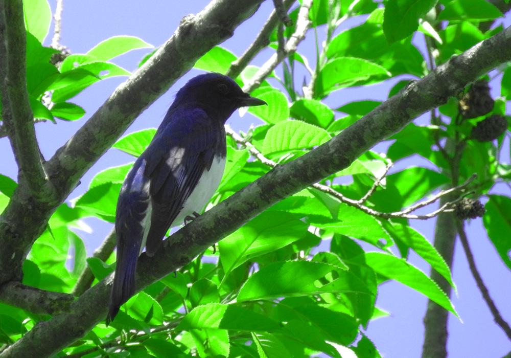 幸せの青い鳥 オオルリ オス 東京都葛飾区